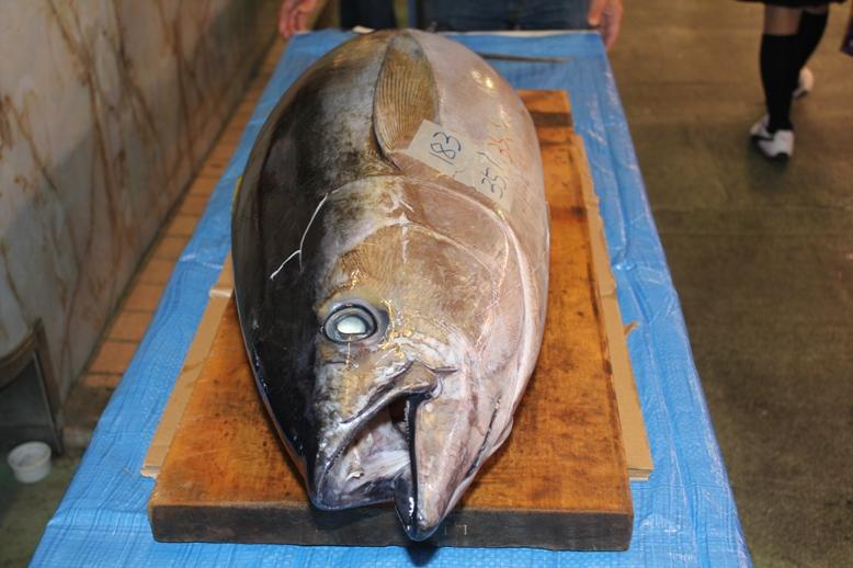 市場鮮魚部が準備した35kgのキハダマグロ